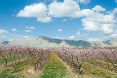 Spring day. White puffy clouds in a blue spring sky above a peach orchard in full bloom Stock Image