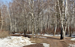 Spring day in a birchwood of one of parks of the city of Moscow. Stock Photo