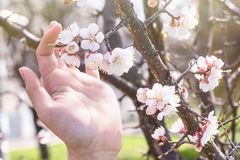 A branch of cherry blossoms in hand. Flowering apricot on a sunny day, hand holding cherry blossoms in spring stock images