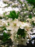 Spring day and branches of cherry blossoms in the garden royalty free stock photos