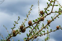 Larch branches with cones on blue sky background. Spring day, flourishes leaves, larch branches with cones on blue sky background Stock Photo