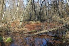 Spring day on forest bog. Old woods on bog in spring forest royalty free stock image