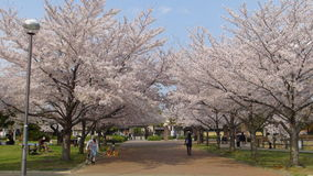 Japan Cherry Blossom Tree Royalty Free Stock Images