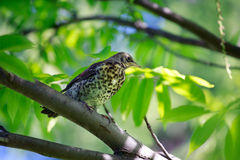 Spring day  Thrush sitting on a tree branch. Royalty Free Stock Images
