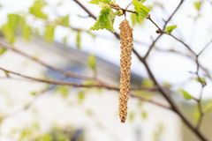 Spring. daylight. birch is just starting to blossom. there are earrings.  royalty free stock photo