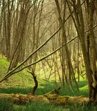 Spring deciduous forest with trees and green grass Royalty Free Stock Photography