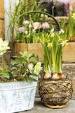 Spring decoration with daffodils Royalty Free Stock Image