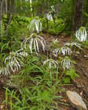 Spring Decoration. Mountainous Spring Pale Cone Flowers Royalty Free Stock Image