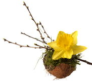 spring decoration: Narcissus and twig with buds on moss filled coconut shell. Royalty Free Stock Photography