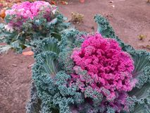 A spring decorative cabbage is in a bouquet, floral background royalty free stock photography