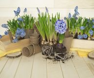 Spring decorative composition. Flowers in a basket and pots of hyacinth, muscari, narcissus. Wooden background. Cozy decor of the Easter. Easter eggs. Colors Royalty Free Stock Photography