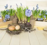 Spring decorative composition. Flowers in a basket and pots of hyacinth, muscari, narcissus. Wooden background. Cozy decor of the Easter. Easter eggs. Colors Royalty Free Stock Image