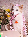 Spring and delicate eskimo dog Royalty Free Stock Photography