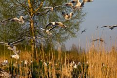 Spring, delicate young foliage trees, and noisy nesting gulls. On ponds, spring mood, black-headed gull (Larus ridibundus stock photos