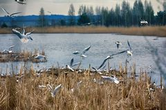 Spring, delicate young foliage trees, and noisy nesting gulls. On ponds, spring mood, black-headed gull (Larus ridibundus royalty free stock image