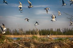 Spring, delicate young foliage trees, and noisy nesting gulls. On ponds, spring mood, black-headed gull (Larus ridibundus stock photo