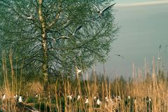 Spring, delicate young foliage trees, and noisy nesting gulls. On ponds, spring mood, black-headed gull (Larus ridibundus stock image