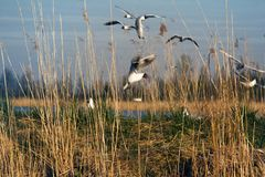 Spring, delicate young foliage trees, and noisy nesting gulls. On ponds, spring mood, black-headed gull (Larus ridibundus royalty free stock images