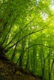 Spring  dense forest in a rainy day. Spring dense forest in a rainy day. High green trees royalty free stock photo