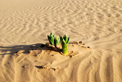 Spring in desert Royalty Free Stock Photography