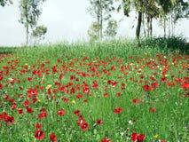 Carpet of flowering animon Royalty Free Stock Images