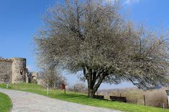 Spring at Devin castle - a tree in a blossom in front of old stone walls royalty free stock photo