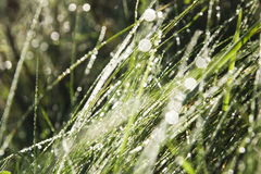 Spring dewy grass Royalty Free Stock Photography