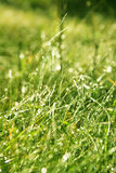 Spring dewy grass Stock Photography