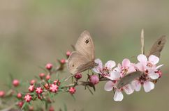 Spring Dingy Ring butterflies on pink Australian leptospernum flowers Stock Image