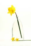 Spring display. Spring daffodils in a modern display style on a white background Royalty Free Stock Photo
