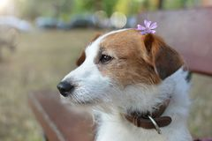 SPRING DOG. PORTRAIT OF A CUTE JACK RUSSELL PUPPY SITTING ON A WOODEN BENCH ON A PARK WITH A VIOLET OR PURPLE SMALL FLOWER ON HEAD.  stock image