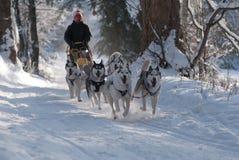 Spring dogsled av de siberian huskiesna fotografering för bildbyråer