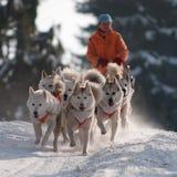 Spring dogsled av de siberian huskiesna Arkivfoto