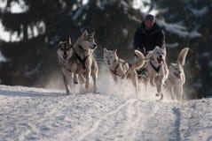 Spring dogsled av de siberian huskiesna arkivbild