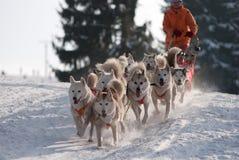 Spring dogsled av de siberian huskiesna royaltyfri bild