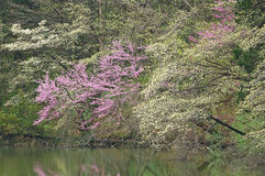 Spring Dogwoods and Redbud Royalty Free Stock Photos
