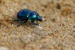 Spring dor beetle 7 stock photo