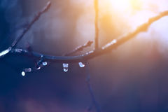Spring drops. A drop in the branches Stock Photo