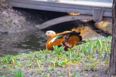 Spring. Duck on the Bank of the stream. Red duck Ogar. Ogar, or red duck Latin Tadorna ferruginea a waterfowl of family duck, related to a peganka. Orange-brown royalty free stock image