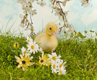 Spring duckling Stock Photos