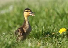 Spring duckling Royalty Free Stock Photography