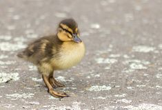 Spring Duckling At Wellington Zealandia Reserve. Cute ducklings from New Zealand Mallards Royalty Free Stock Images