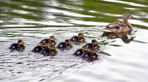 Spring ducklings at the pond. Spring ducklings on a pond with a mother duck swim to the shore Stock Photos