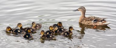 Spring ducklings at the pond. Spring ducklings on a pond with a mother duck swim to the shore Royalty Free Stock Photo