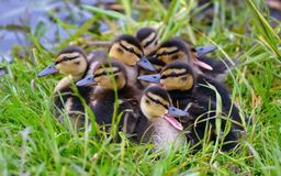 Spring ducklings at the pond. Spring ducklings on a pond with a mother duck swim to the shore Stock Images