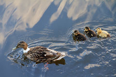 Spring ducks Royalty Free Stock Photography