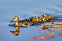 Spring ducks Royalty Free Stock Images