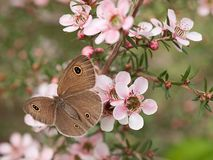 Spring Dusky Knight butterfly ID Australian leptospernum flowers Royalty Free Stock Images