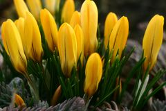 Spring early flowers bright yellow crocus. royalty free stock photo