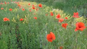 A lot of scarlet poppies sway in the field in the wind - 42s. In the spring and early summer in the field grew raw materials for the drug are young juicy large stock footage